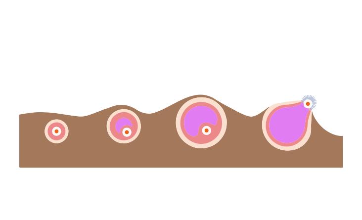 How Ovulation Happens.