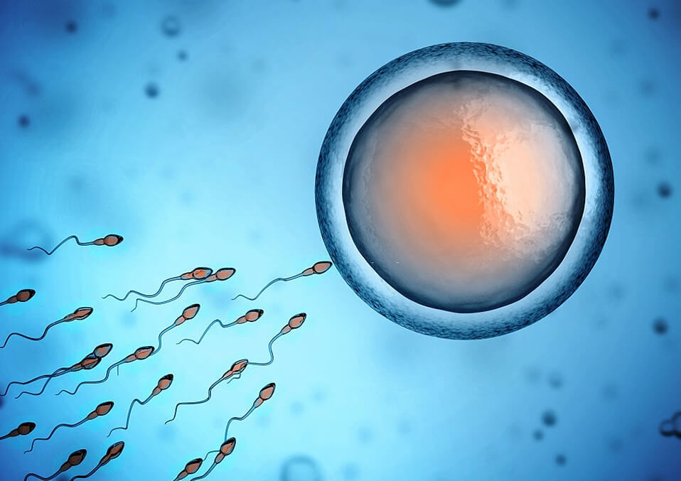 Does Sperm Determine the Gender of the Baby?